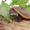 Red Bellied Sideneck Turtle (Emydura subglobosa)